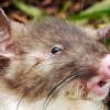 Tikus Hidung Babi Ditemukan di Hutan Perawan Sulawesi