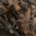 Jumlah Babi Melebihi Populasi Manusia, Spanyol Resah